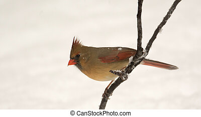 Female northern cardinal perched on branch following winter snow storm