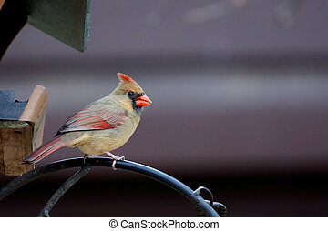 Female Northern Cardinal sitting on a branch