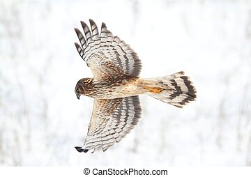 Female Northern Harrier (Circus cyaneus) flying in a snowy field in winter
