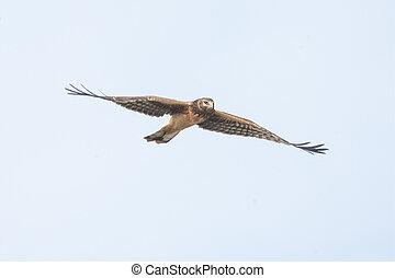 northern harrier hawk - female northern harrier hawk  at ...