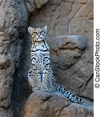Female Ocelot sitting on a Rocky Ledge