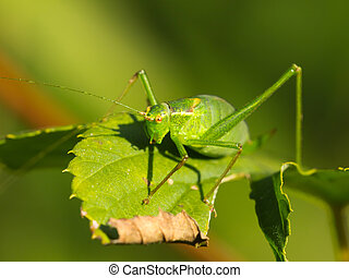 Female of a speckled bush-cricket (Leptophyes punctatissima)...