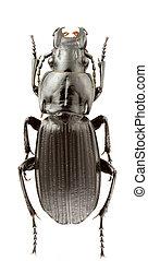 Abax Schueppeli - Female of Abax Schueppeli beetle isolated ...