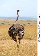 Female of African ostrich