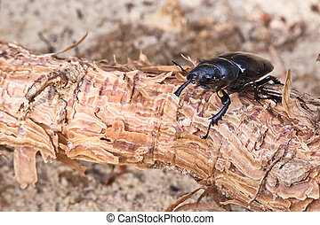 female of beetle at the root of pine on a background of sand