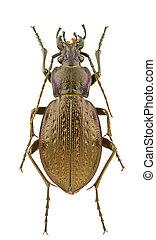 Carabus obsoletus - Female of Carabus obsoletus isolated on ...