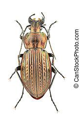 Carabus ullrichii fastuosus - Female of Carabus ullrichii ...