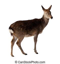 Female of  Deer. Isolated over white