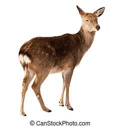 Female of Deer  over white