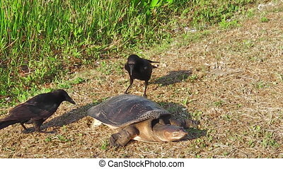 Florida softshell turtle - Female of Florida softshell...