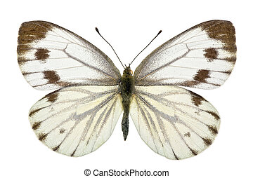 Pieris napi - female of Green-veined White (Pieris napi)...