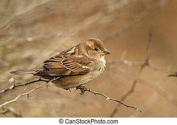 Passer domesticus - Female of House Sparrow, Passer ...