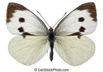 Pieris brassicae - female of Pieris brassicae (Large White)...