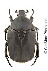 Protaetia opaca - Female of Protaetia opaca isolated on...