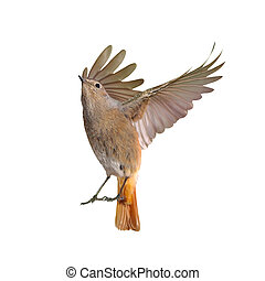 Female of redstart bird flying isolated on a white background