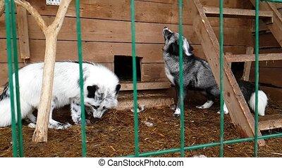 Female of silver-black fox in public nursery - Fox in a...
