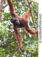 Female orang utan hanging in a tree - Young female orang ...