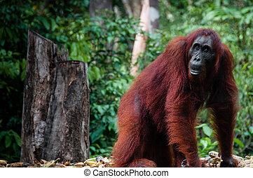 Female Orang Utan in Borneo Indonesia - Orang Utan seen in...