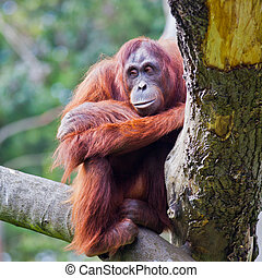 Female of Bornean Orangutan sitting on a branch at Dublin Zoo.