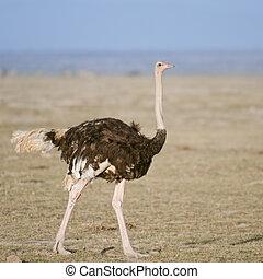 ostrich - Female ostrich in Amboseli National Park, Kenya