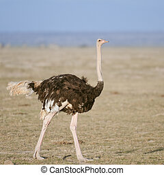 Female ostrich in Amboseli National Park, Kenya