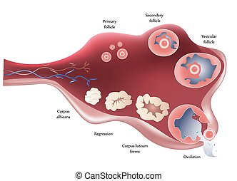 Female ovary - Female Ovary. Showing ovulation step by step....