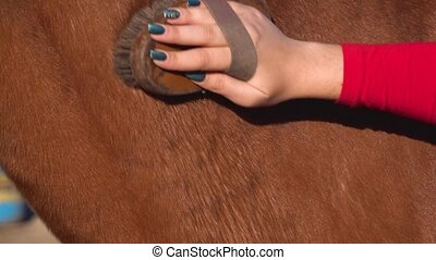 Female owner cleaning and healthy shiny horse coat with...