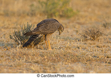 Female Pale Chanting Goshawk hunting for food on ground in the Kalahari