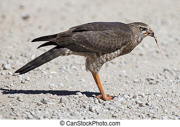 Female Pale Chanting Goshawk killing a small lizard on the ground in Kalahari