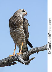 Female Pale Chanting Goshawk sitting in a tree against blue Kalahari sky