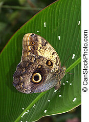 Owl Butterfly - Female Pale Owl Butterfly laying eggs