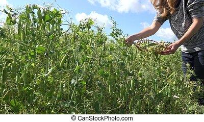 female peasant hands harvest ripe peas pods in rural farm plantation. 4K