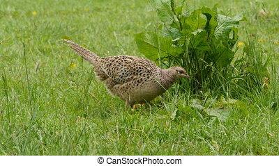 Female pheasant on a meadow closeup