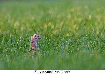 Photo of female pheasant hiding in a grass