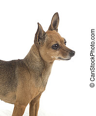 female pincher toy dog on white background
