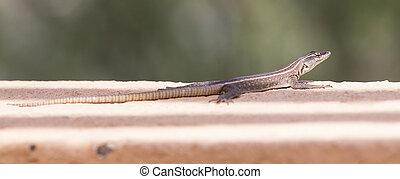 Female Platysaurus lizard on a rock in Mapungubwe, South Africa.
