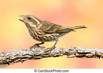 Female Purple Finch (Carpodacus purpureus) perched with a fall colors