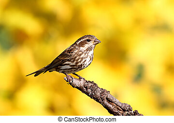 Female Purple Finch (Carpodacus purpureus) perched with a yellow background