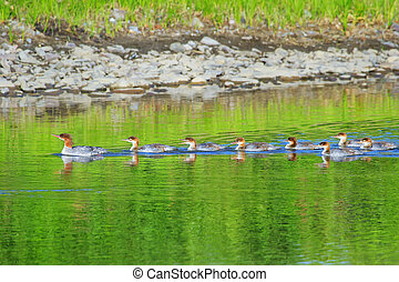 Female red-breasted merganser with ducklings in Yellowstone National Park, Wyoming