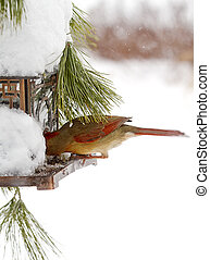 Female Red Cardinal /Feeder - Snow