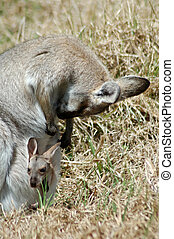 red-necked wallaby - Female red-necked wallaby, Macropus ...