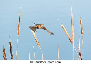 red winged blackbird - female red winged blackbird at ...