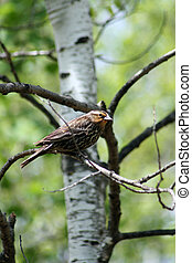 Female Red Winged Blackbird in Tree