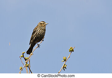 Female Red-Winged Blackbird Perched in a Tree