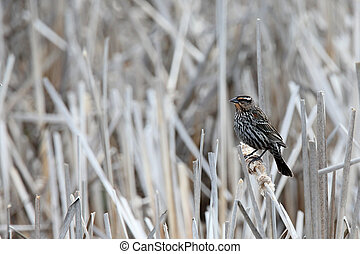 Female red-winged blackbird perched on a reed.