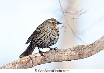 Female Red-winged blackbird - Red-winged blackbird on tree...