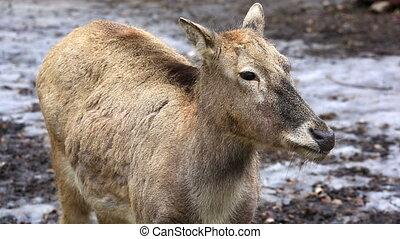 Female reindeer in winter forest - Female reindeer grazing...