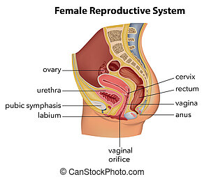 Female Reproductive System - Illustration showing the female...