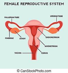 Female reproductive system, image diagram