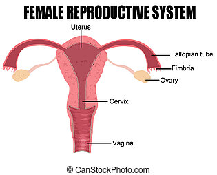 Female Reproductive System (useful for education in schools ...